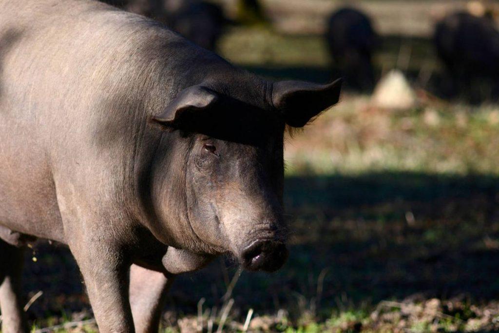 El 'big data' llega al cerdo ibérico